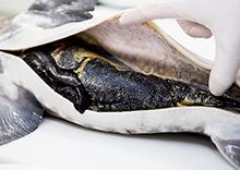 """No-kill, caviar """"éthique"""", faut-il y croire ?"""