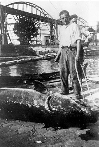 Un esturgeon mâle de 300 kg, 3,90 mètres est pêché entre Maubert et Mortagne-sur-Gironde. Mr Roger Mossant et Mr Henri Chaillon, Juin 1944 - © Prunier